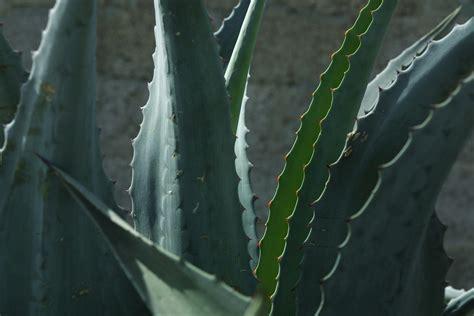 do aloe plants need sunlight does an aloe vera plant go in full sun or shade home