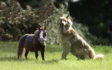 Größte Pferd Der Welt by Te Presentamos 161 El Caballo M 225 S Peque 241 O Del Mundo Rolloid