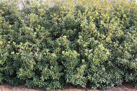 costo siepi da giardino prezzo delle siepi siepi costo siepi