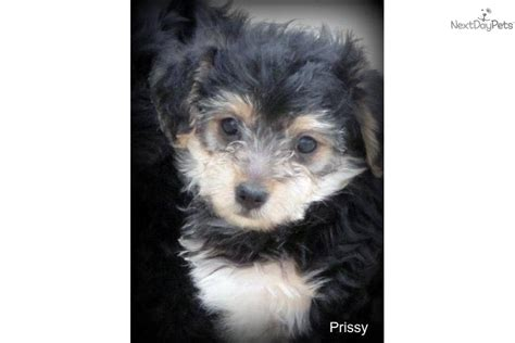 yorkie poo shedding meet prissy a yorkiepoo yorkie poo puppy for sale for 400 adorable non