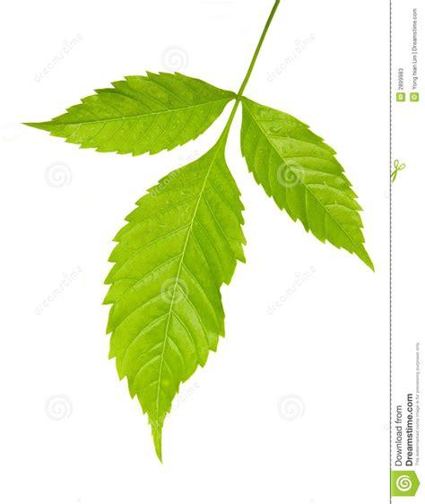 imagenes hojas verdes tres hojas verdes fotos de archivo imagen 2899983