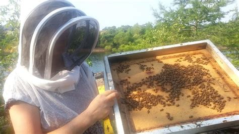 backyard beekeepers association plight of pollinators leads to rise in backyard beekeeping