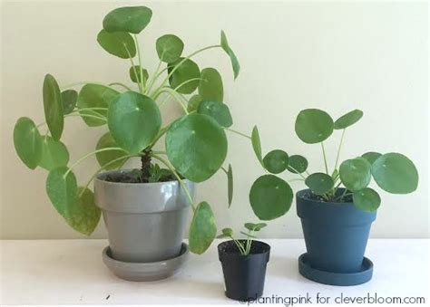 Indoor House Plant how to care for pilea peperomioides clever bloom