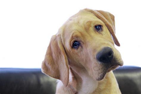 yellow puppy 15 honden die kijken alsof konijntje net is overleden superlief upcoming