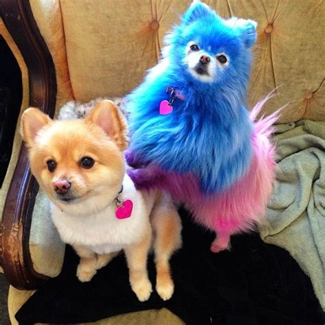 pomeranian hair dye 78 best images about and on o i yellow hair and pink