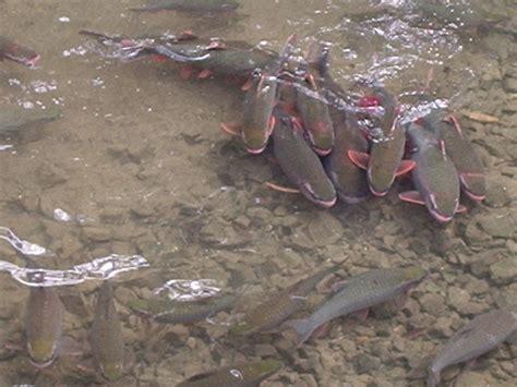 freshwater fish vietnam   Web Gallery Wizard Vietnam Pu Luong Freshwater Fish 2017   Fish Tank