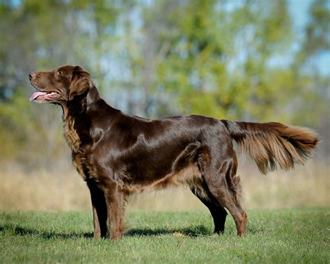 flat coated retrievers flat flat coated retriever breed guide learn about the flat