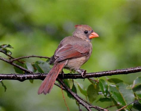 juvenile female cardinal backyard wildlife in north