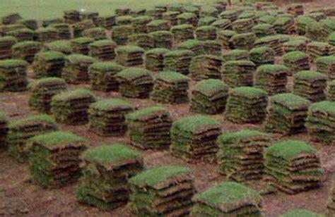 Benih Bibit Rumput Gajah 12 cara menanam rumput gajah mini 7 tips perawatan