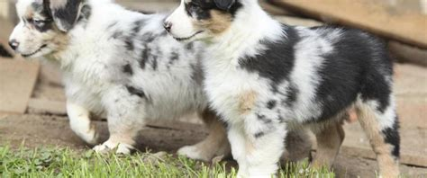 mini aussie puppies for sale in our puppies and mini aussie puppies for sale miniature australian shepherd