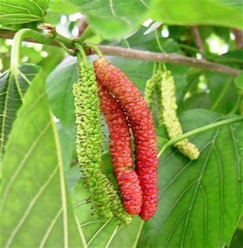 Bibit Tanaman Buah Murbey tanaman mulberry jual tanaman hias