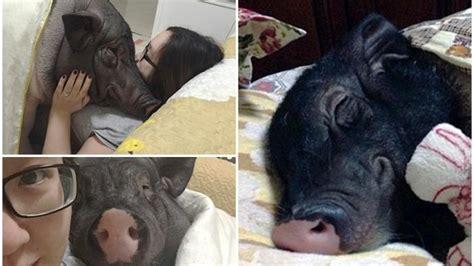 Wanita Menyusui Binatang Peliharaan Wanita Sanggup Tidur Berkongsi Selimut Bersama Babi