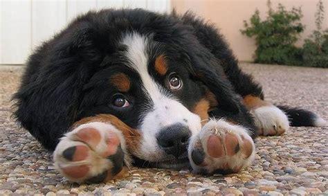 bovaro bernese in appartamento bovaro bernese cani taglia grande scopriamo il