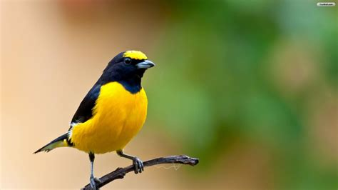 wallpaper birds beautiful yellow bird hd wallpaper