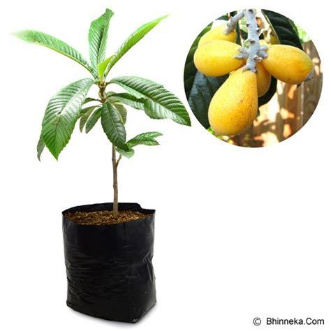 Bibit Buah Buahan jual kebun bibit tanaman loquat plum 60cm murah bhinneka