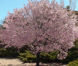newport flowering plum the tree center