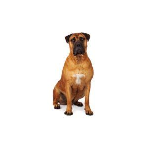 bullmastiff puppies for sale in ga bullmastiff puppies petland dalton