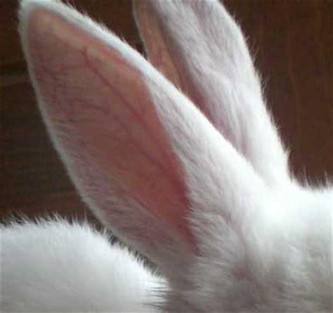 orecchio bagnato 10 modi per aiutare il coniglio a sopportare il caldo