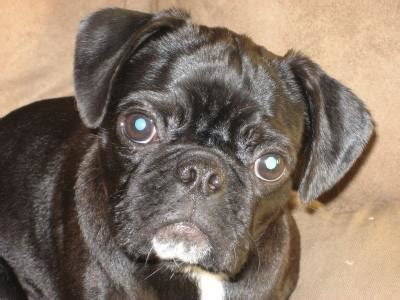 pug mix  thriftyfun
