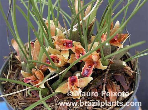 Easy Plants Maxillaria Desvauxiana