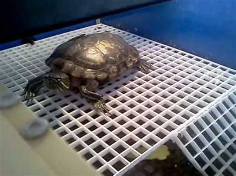aquatic turtle basking light howard on his basking pvc egg crate turtle dock and r