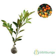 Tanaman Jeruk Sunkist 60cm tanaman jeruk nagami nagami kumquat bibitbunga
