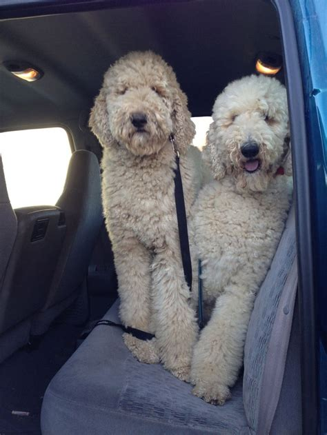 standard poodle face hair cuts 25 best ideas about standard poodles on pinterest