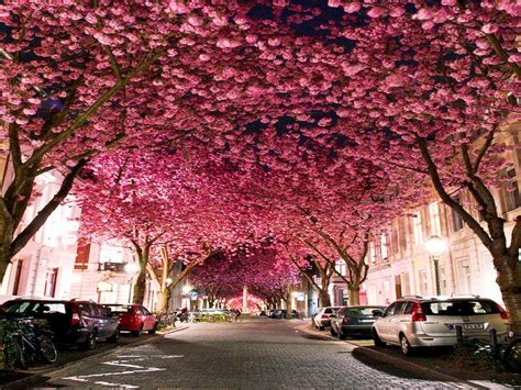 pin by cherrie gray on places pictures old and cherry blossom avenue bonn germany amazing nature