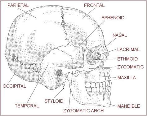 anatomy labeling worksheet anatomy labeling worksheets images esthetics anatomy search and