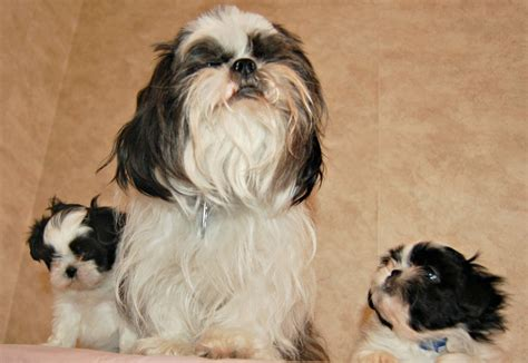 black shih tzu names black and white names