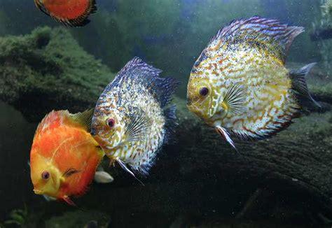 amazon fish amazon river aquarium fish 6 amazon river fish
