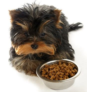teacup yorkie characteristics teacup yorkie the pocket sized terrier