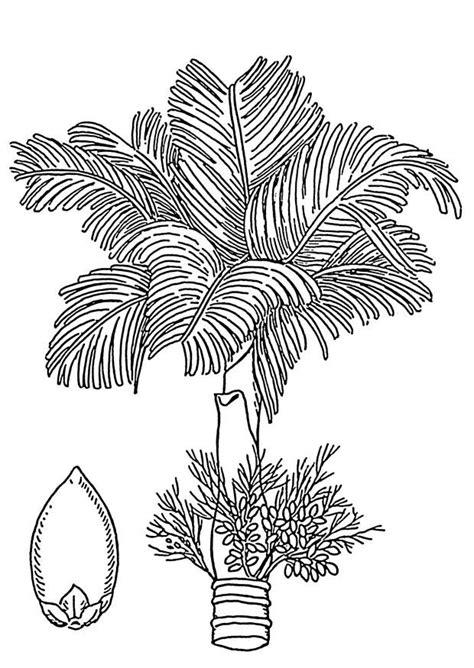 pecan tree outline drawing related keywords pecan tree
