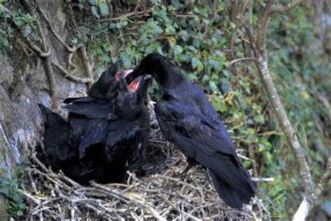 getting rid of crows in backyard why are there a lot of crows in my back yard home