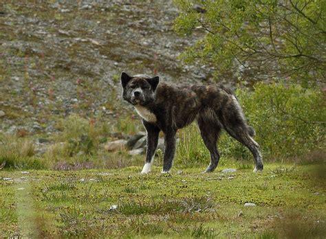 wolf pomeranian hybrid husky crafts