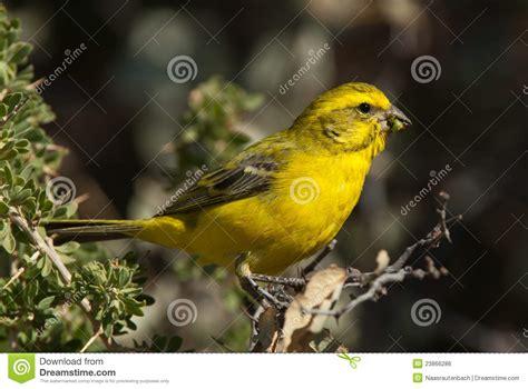 canaries bird yellow stock photos yellow canary royalty free stock image image 23866286