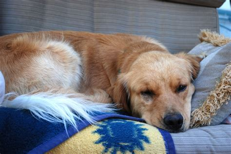 golden retriever separation anxiety 2008 best don t breed or shop adopt images on animal rescue pet