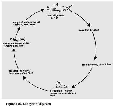 pattern of business life cycle life cycle patterns of fish parasites study material