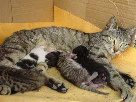 Cat Autoglow Ef 95 1 cat feeding kittens vladimer shioshvili flickr