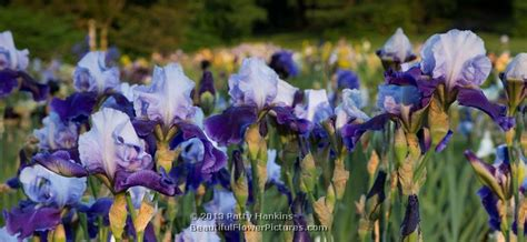 Meet Iris by Some Purple Irises Beautiful Flower Pictures