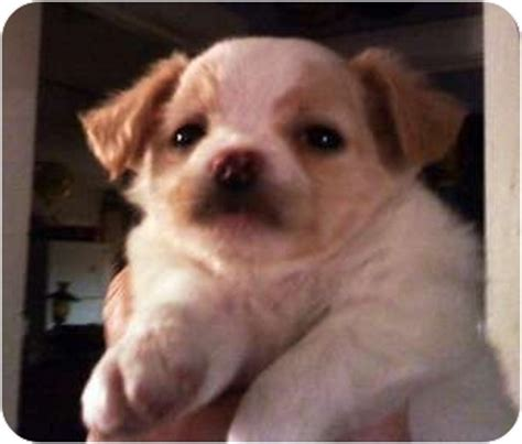 bulldog and shih tzu mix colotta adopted puppy goodland ks shih tzu bulldog mix