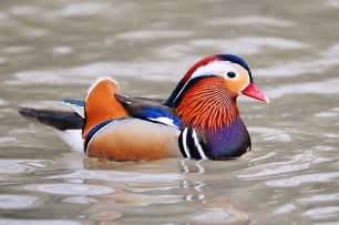 colorful ducks 22 photos of brightly colored birds