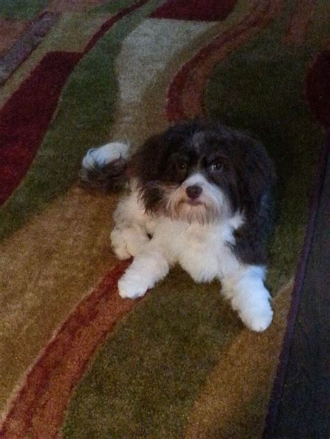 havanese cat 17 best images about havanese puppies on abyssinian cat shirts and puppys