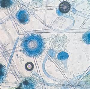 aspergillus niger chaetomium chaetomium