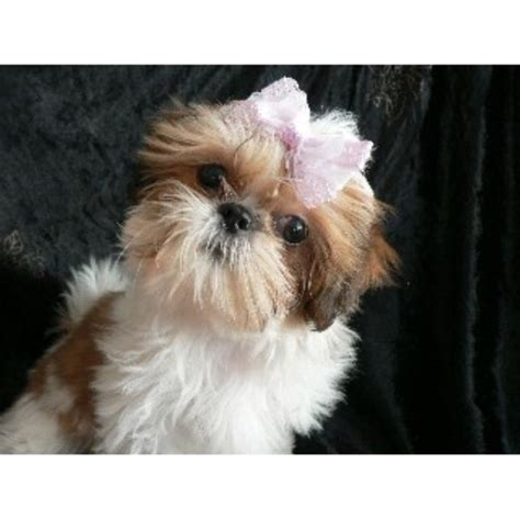shih tzu breeders in virginia glamorous shih tzu shih tzu breeder in mechanicstown ohio listing id 22071