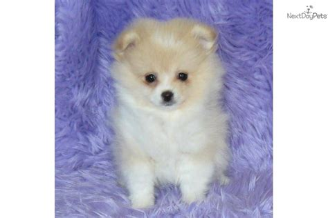 teacup puppies for sale missouri search results teacup pomeranians for sale in missouri the best hair style
