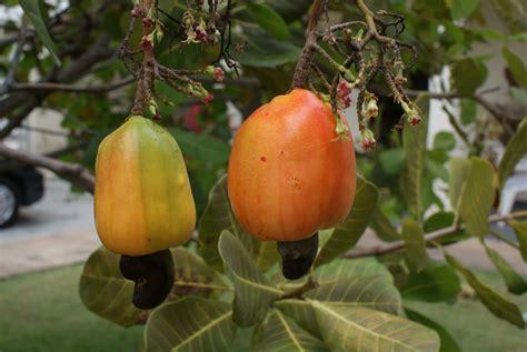 fruit 2 nuts cashew apple fruit