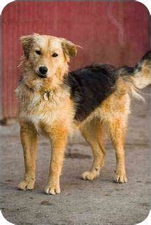 bearded collie golden retriever mix 1000 images about airedale terrier dogs mixes on airedale terrier search