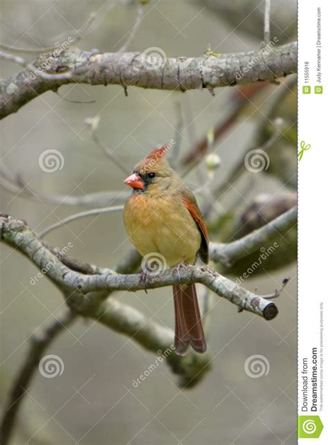 beautiful northern cardinal sitting in bare dogwood tree cardinal on limb royalty free stock photos image 11555918
