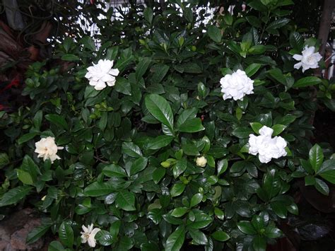 Gardenia Pruning Pruning The Fruitful Eyes2see